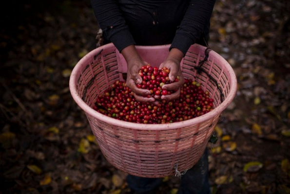 Coffee cherries from Hacienda Sonora